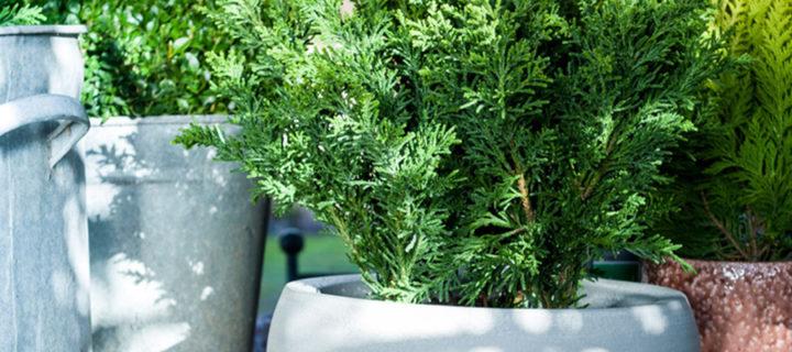 Tuinplant van de Maand december: Kerstplanten